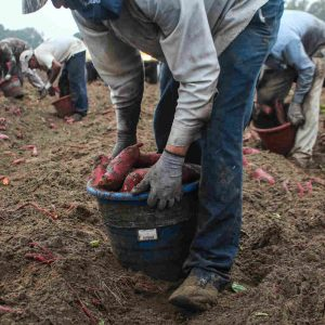 A farmworker harvests sweet potatoes. North Carolina has the sixth highest farm worker population in the country